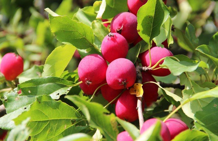 Райские яблочки фото плодов