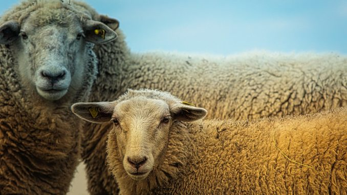 Закуп овец