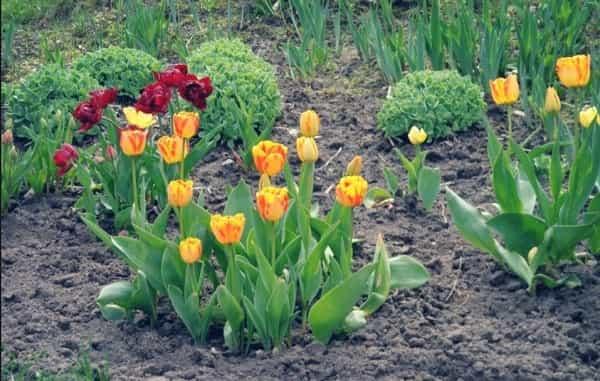 Посадить тюльпаны осенью в грунт