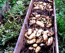 Посадка картофеля на узких грядках