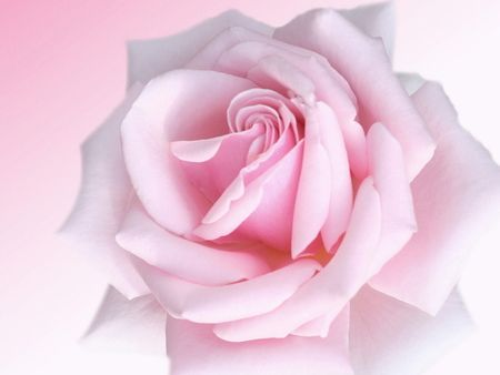 Big pink roses pictures