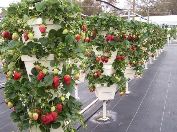 Выращивание клубники в трукарах