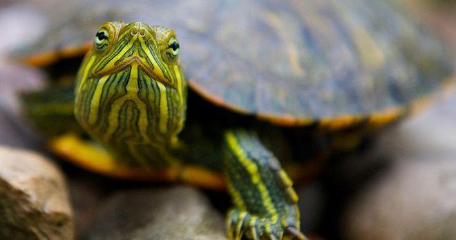 Черепаха к чему
