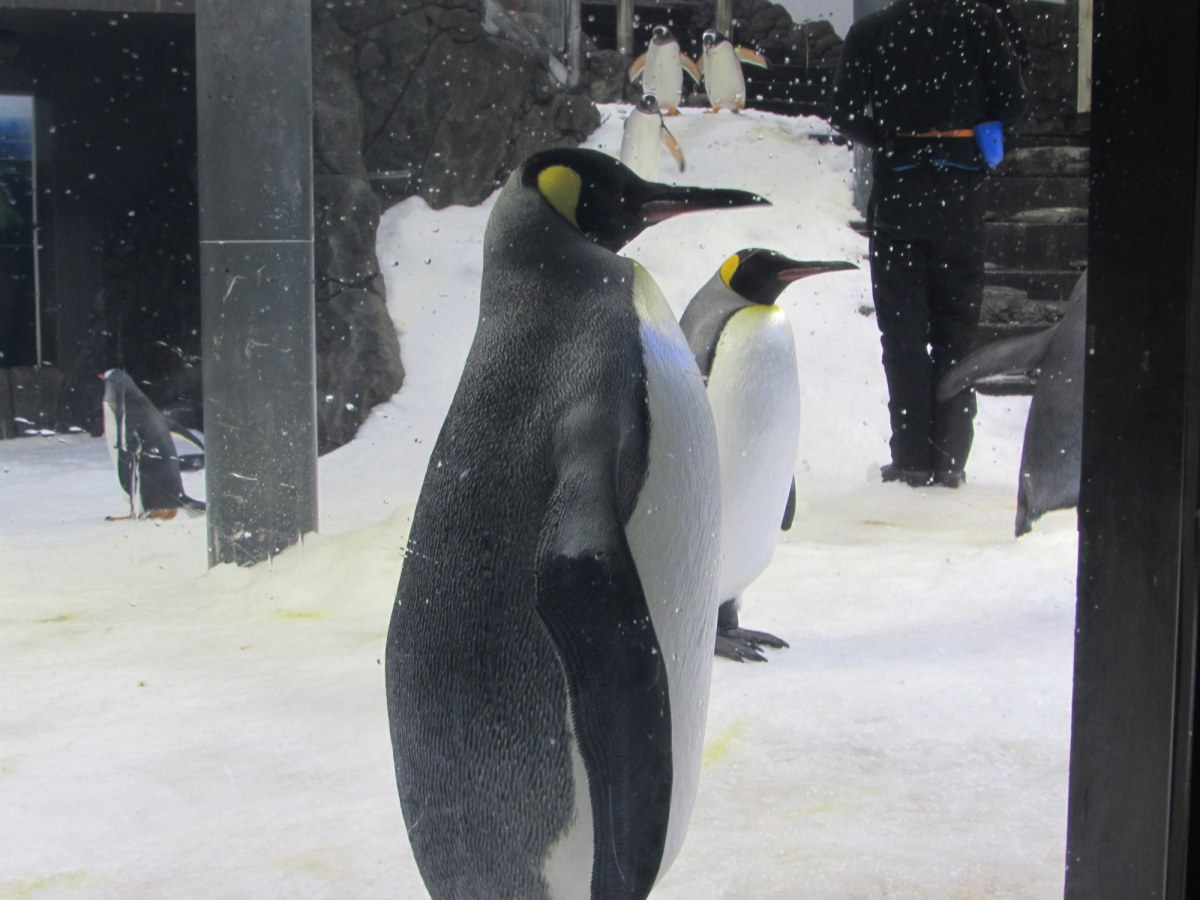 Emperor Penguin with imported ice