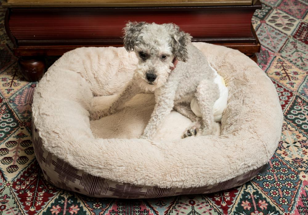 Собака в памперсе фото