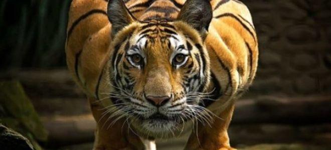 К чему тигры снятся