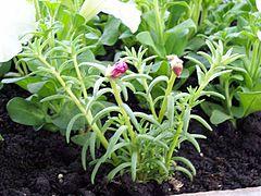 Portulaca grandiflora margarita f1