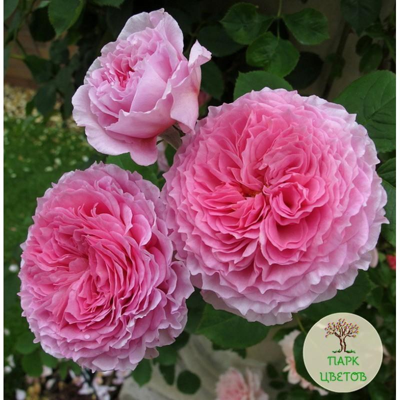 Роза джеймс галвей фото