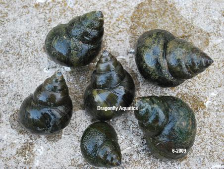 Black japanese trapdoor pond snails sale