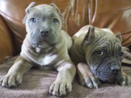 Bodyguard Cane Corso Available Puppies
