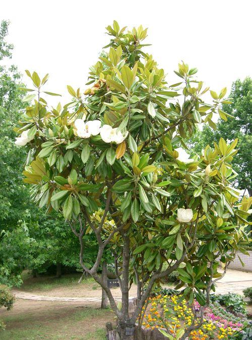Magnolia grandiflora10
