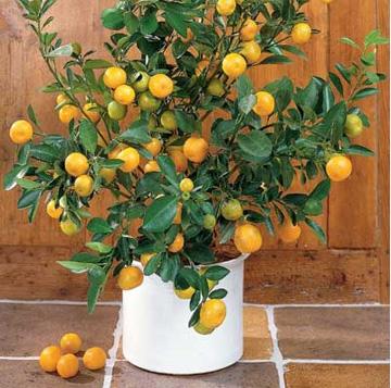 Как размножают мандарин