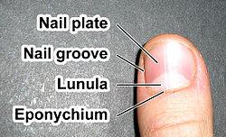 Lunula nails