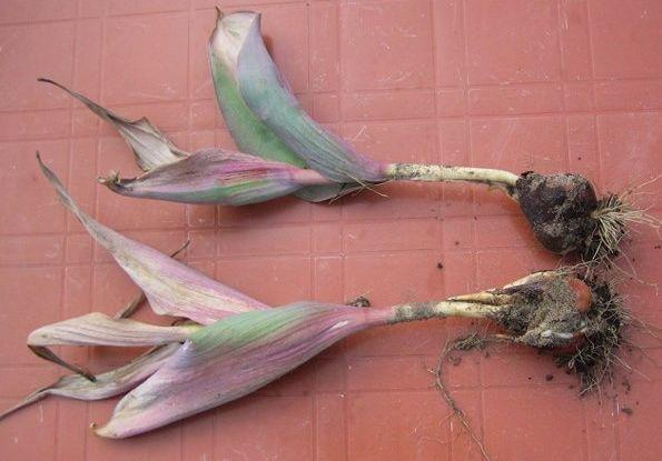 В какое время сажать тюльпаны под зиму