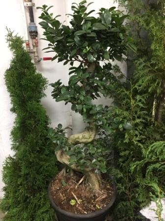 Для выращивания деревьев бонсаи японка купила 30 цветочных горшков