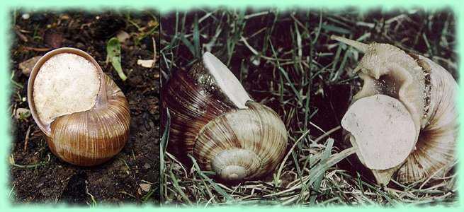 Do snails hibernate in the winter