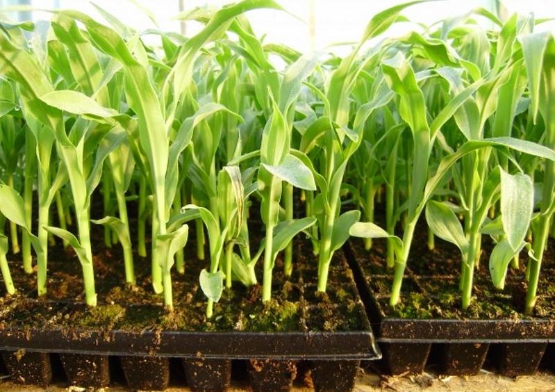 Как выращивать кукурузу рассадой