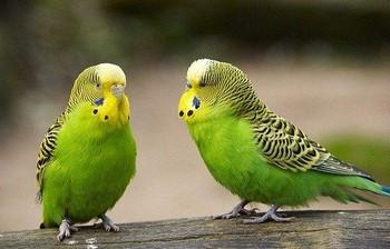 как отличить самца волнистого попугая