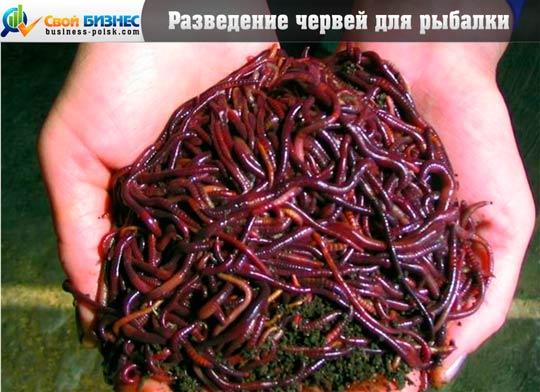 Выращивание червей для рыбаков как бизнес