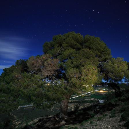 El pino de Binaced