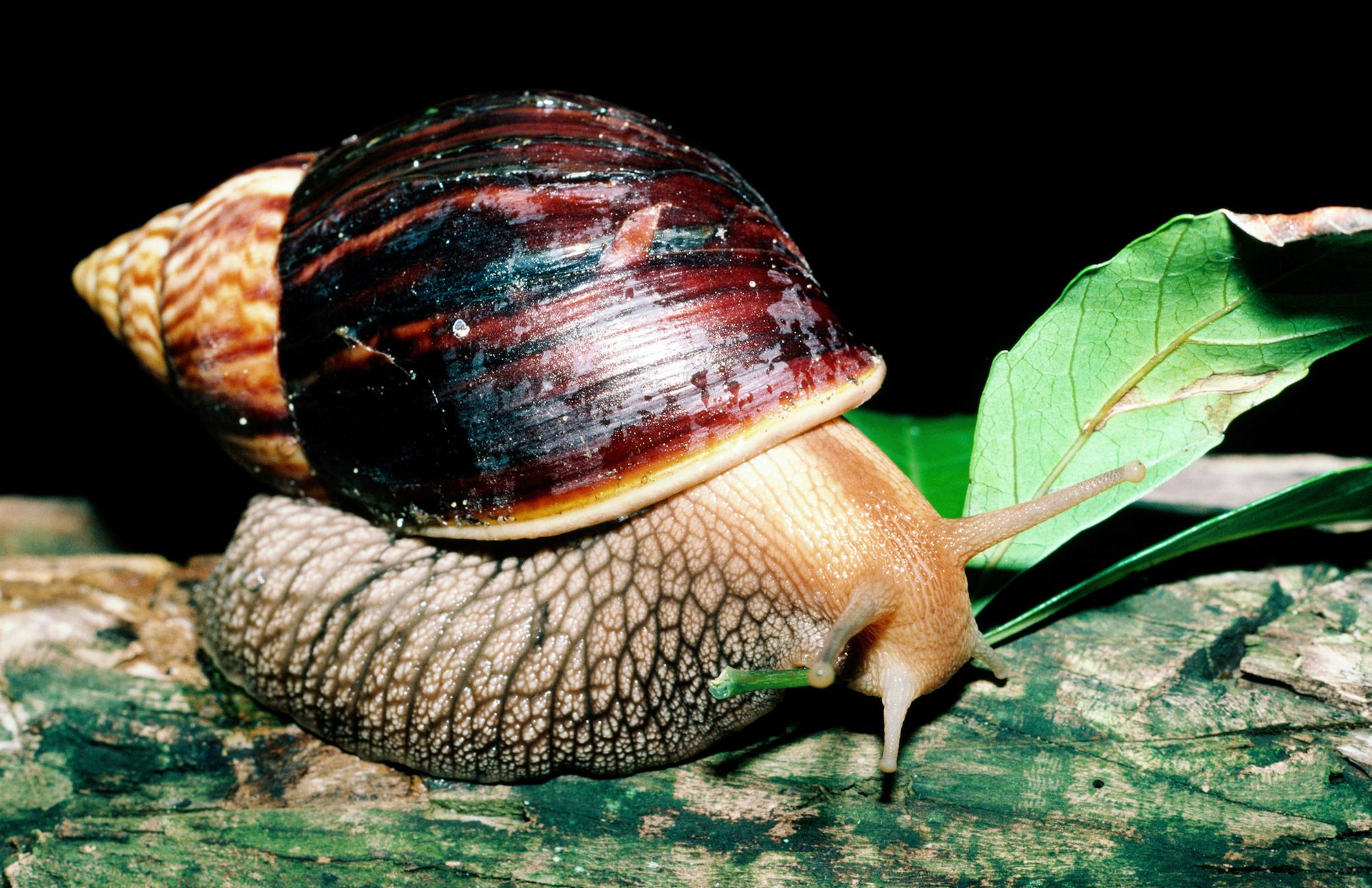 Keeping african land snails