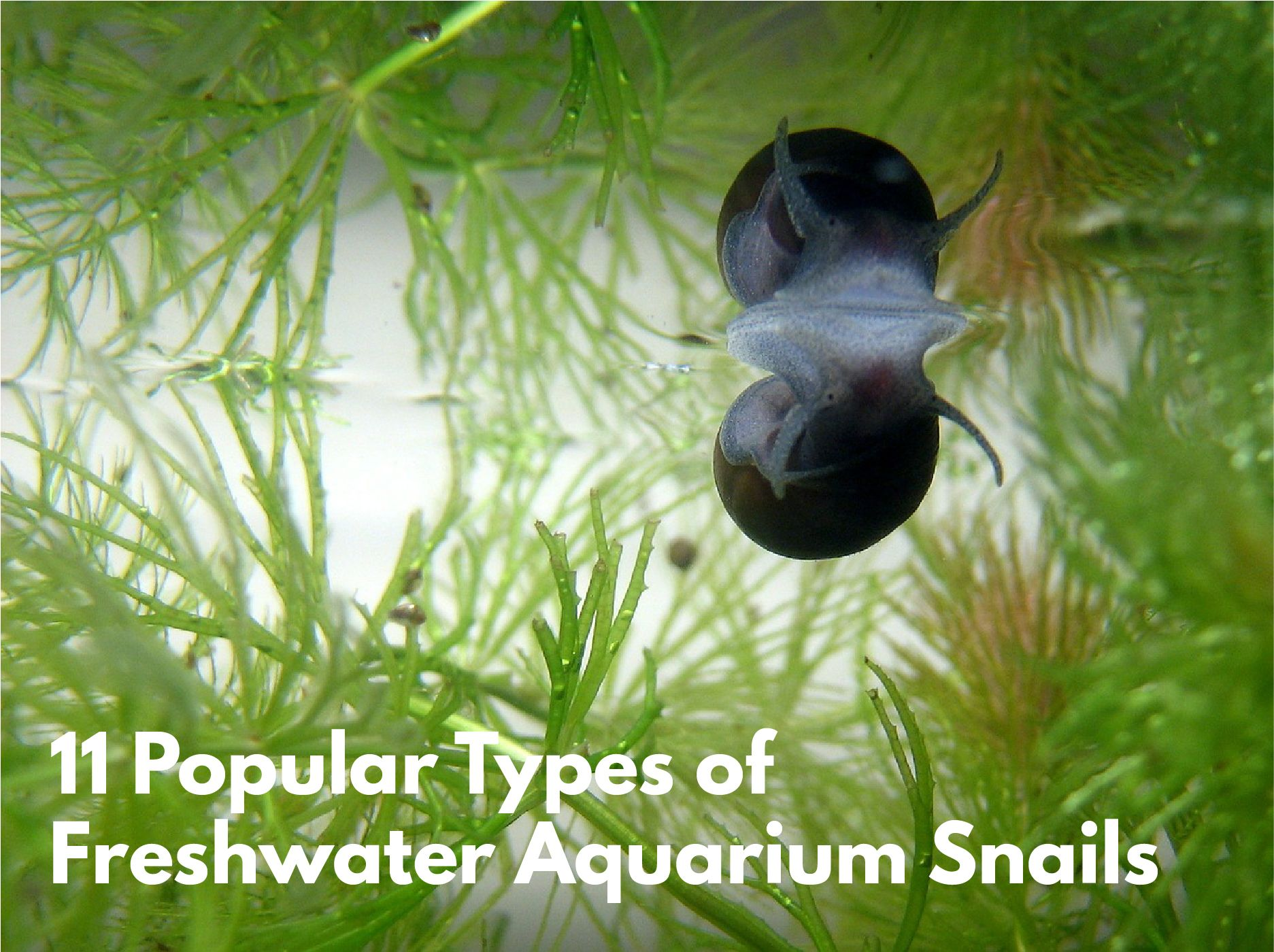 Freshwater snails pets