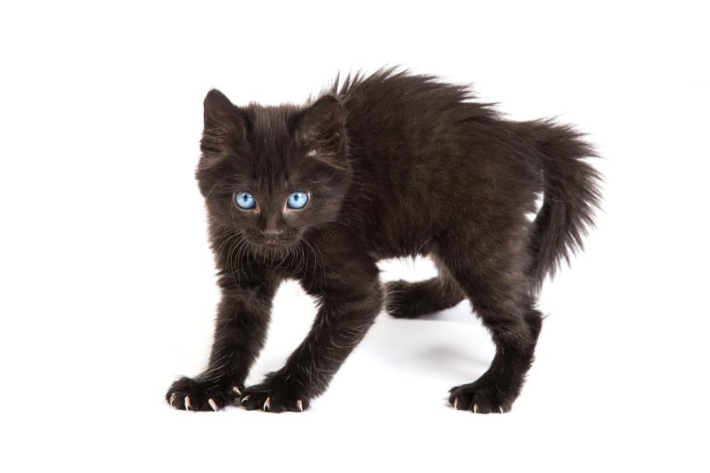 Приметы и суеверия черная кошка в доме