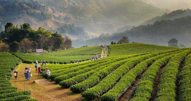 Травяные чаи тайланда