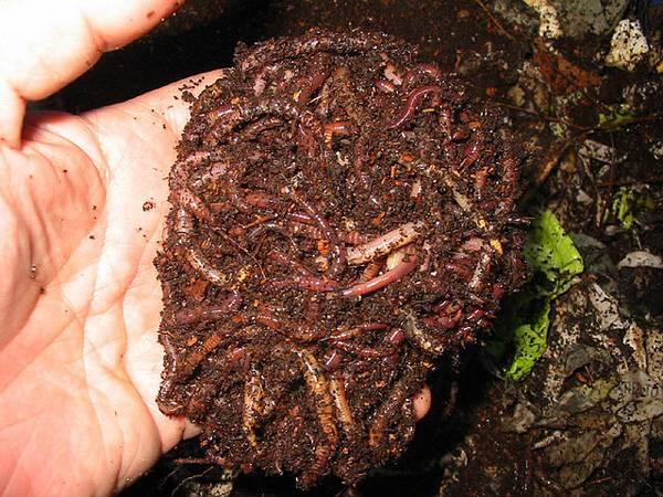 Развести червей