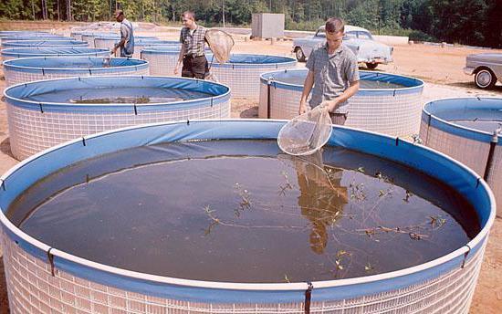 Как вырастить рыбу в бассейне