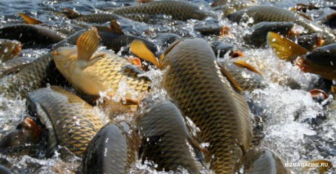 Разведение рыбы бизнес