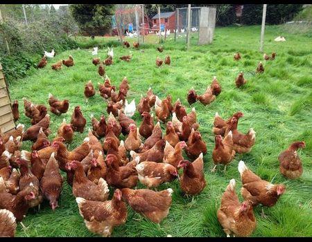Купить куриц для начинающих