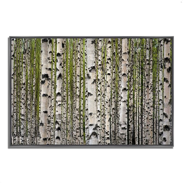 Fine Art Giclee Print on Gallery Wrap Canvas 38 In. x 26 In. Spring Birch Multi Color