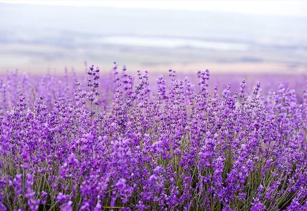 Lavender Massage Oil