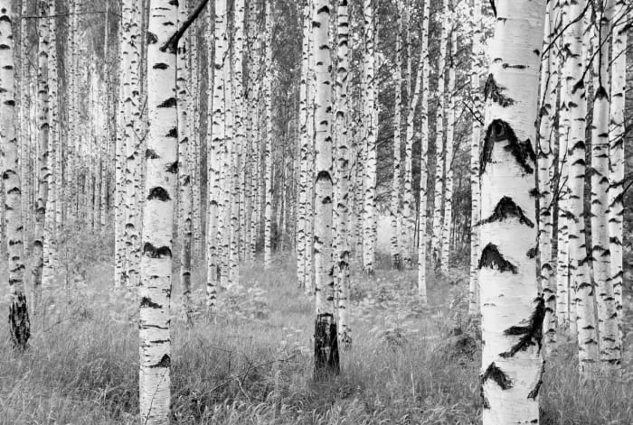 Birch Forest Wall Mural