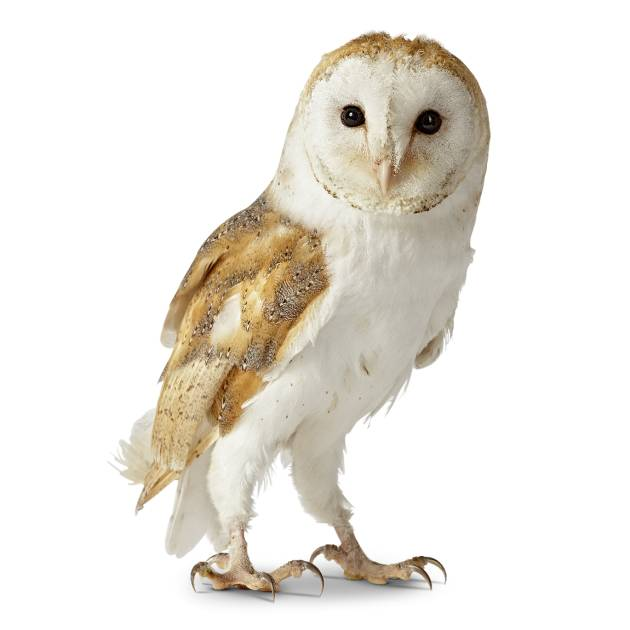Owl facts for kids information about owls dk find out for Do owls eat fish