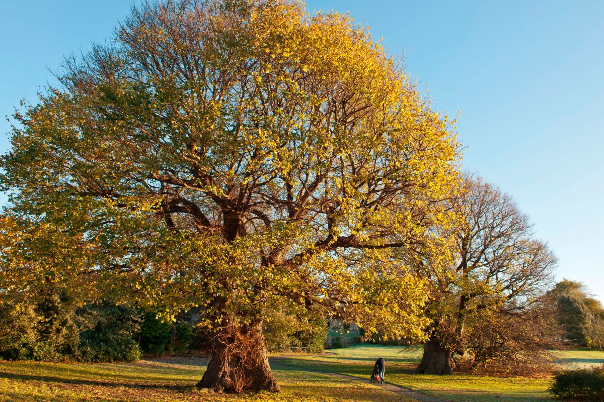 Image gallery deciduous trees for Garden deciduous trees