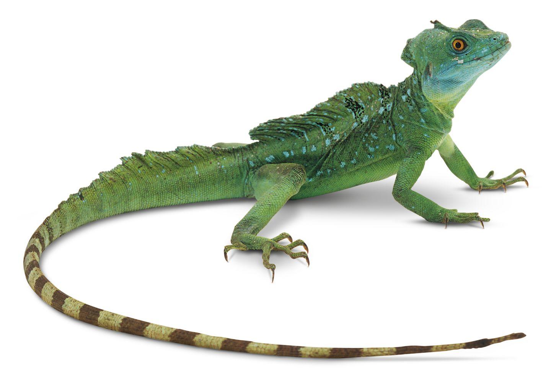 Helmeted Lizard   Gree...
