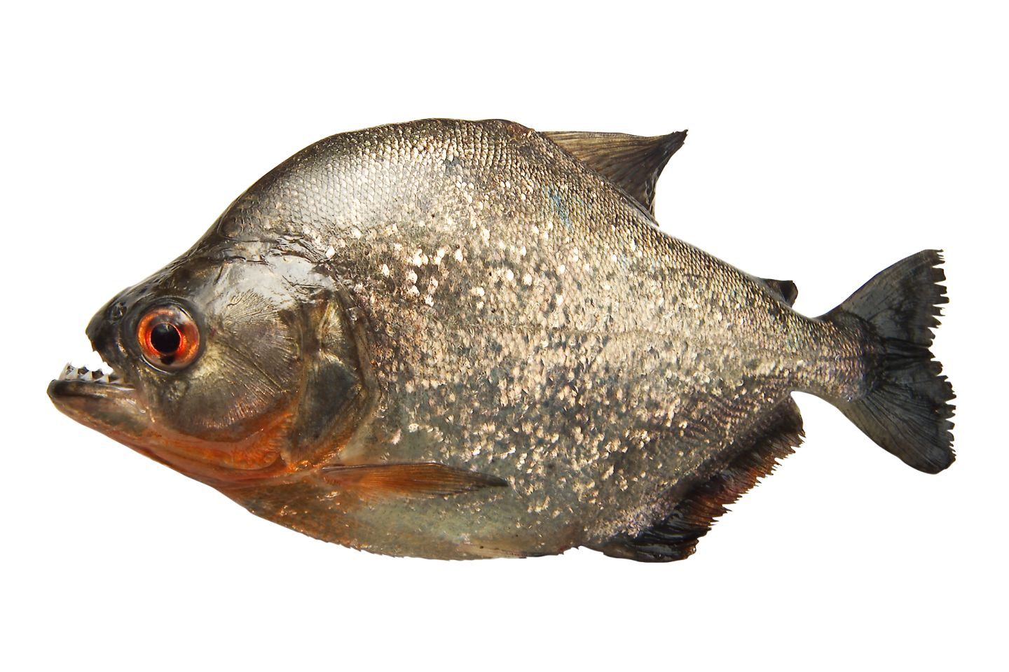 Piranha Facts Where Do Piranhas Live DK Find Out