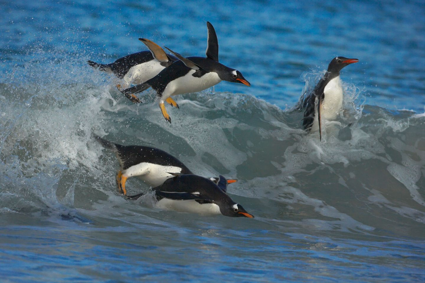 Penguins Swimming | Facts About Penguins | DK Find Out