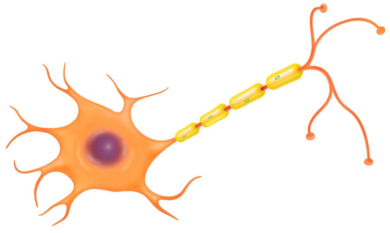 nerve cell function nerve cell diagram dk find out : nerve cell diagram - findchart.co