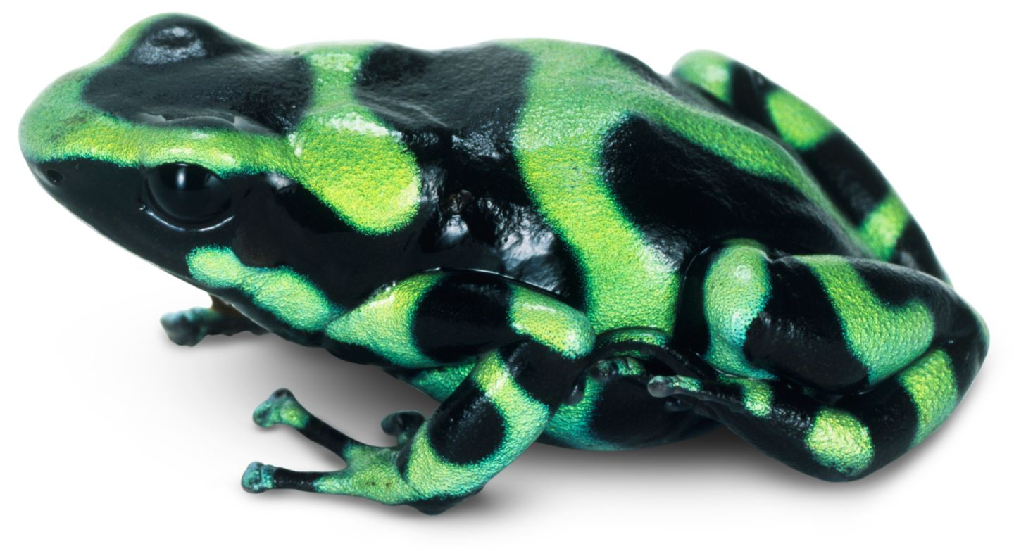 poison dart frog research paper Several poison dart frog research paper species have such toxic skin that native tribes would coat their darts with the frogs secretions to poison  18-10-2016.