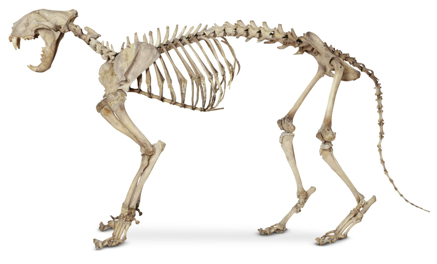 How Many Bones Does A Cat Have In Its Body