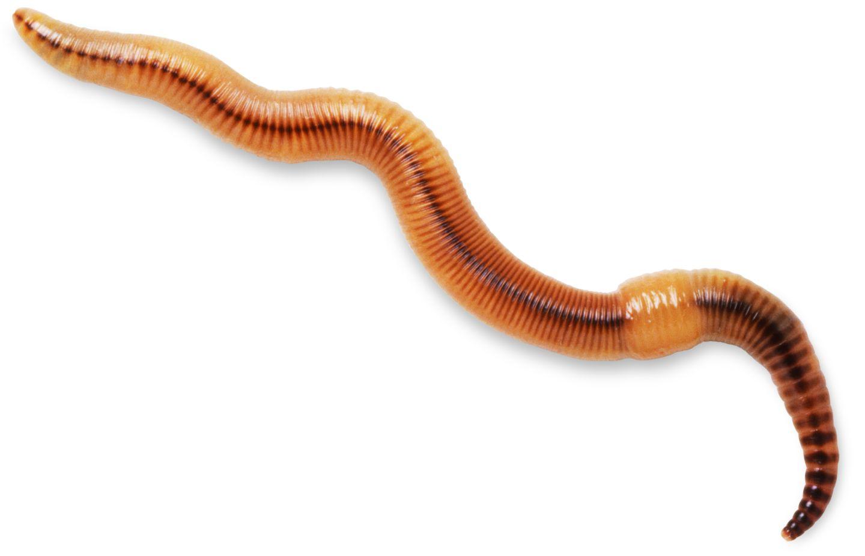 earthworms - photo #41