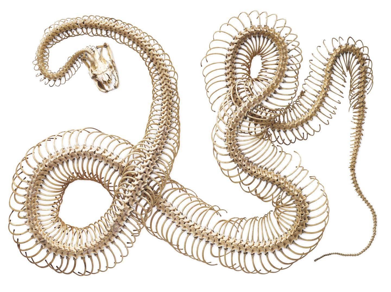 how to put a snake skeleton together