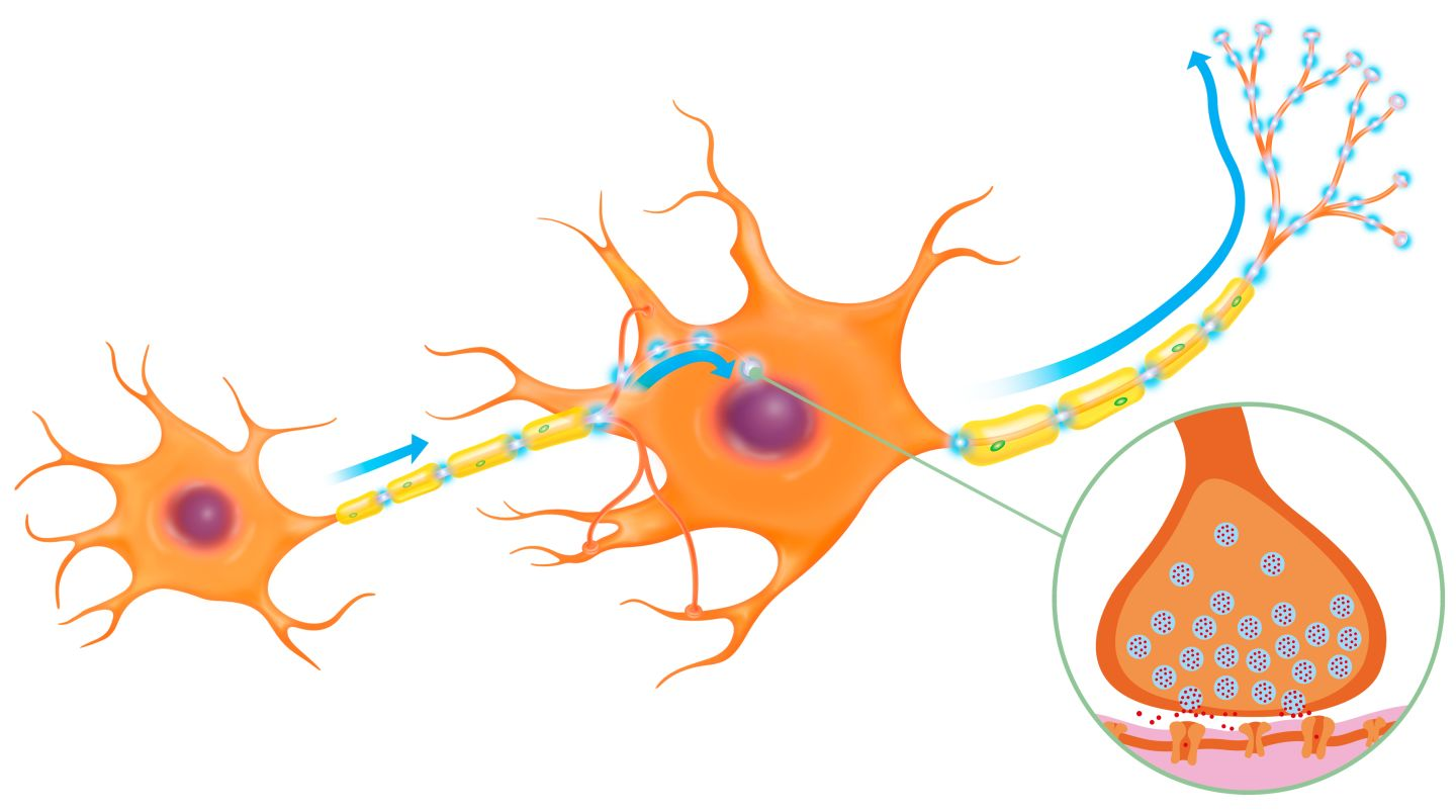 describing the intricate processes of a neuron Scientific american is the essential guide to the  governing the formation of this intricate  has been traced to three separate processes.