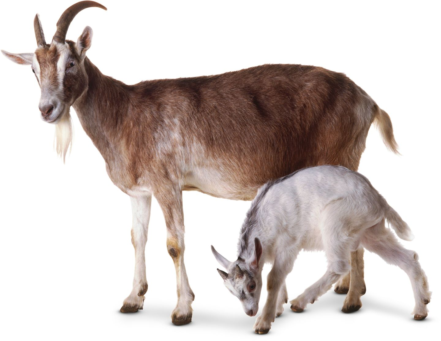 essay on goat for kids Cow essay for kids, குழந்தைகள் மாடு கட்டுரை, , , translation, human translation, automatic translation search human translated sentences.