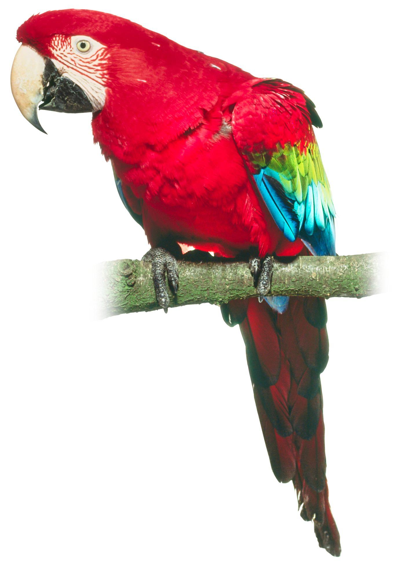 Treasure Island Parrot