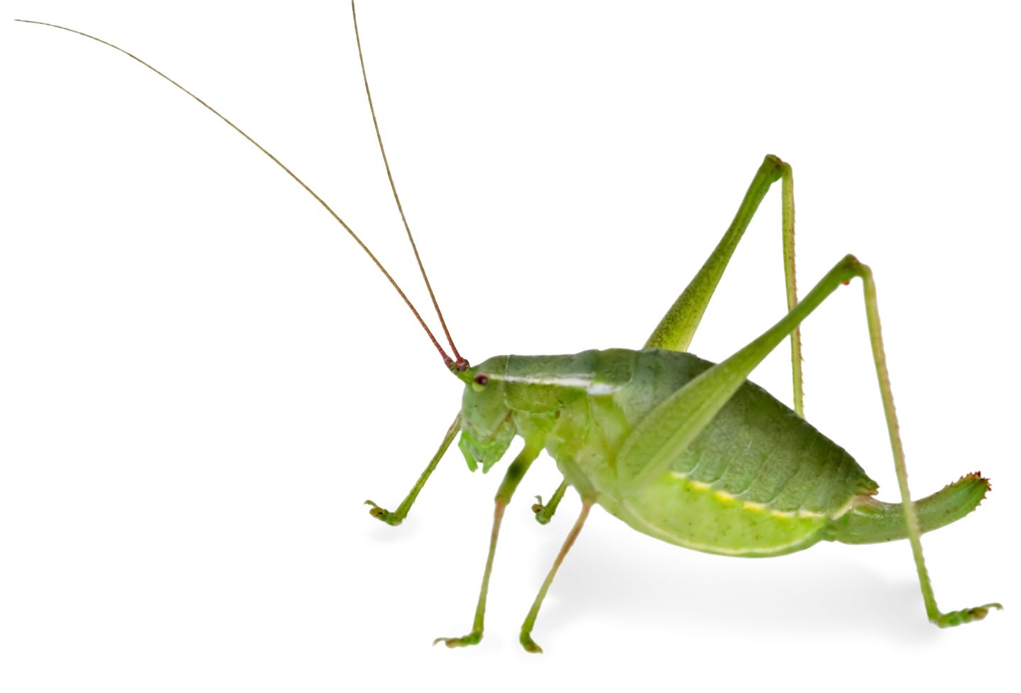 Grasshopper Facts | Cricket Facts For Kids | DK Find Out