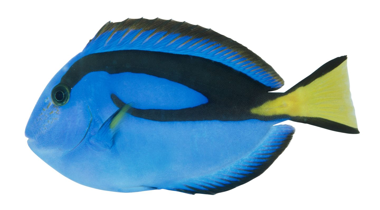 Pacific regal blue tang blue tang fish facts dk find out for Royal blue tang fish